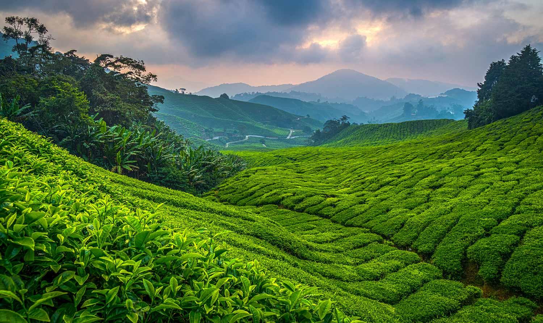 David Steer, Boh Tea Plantation