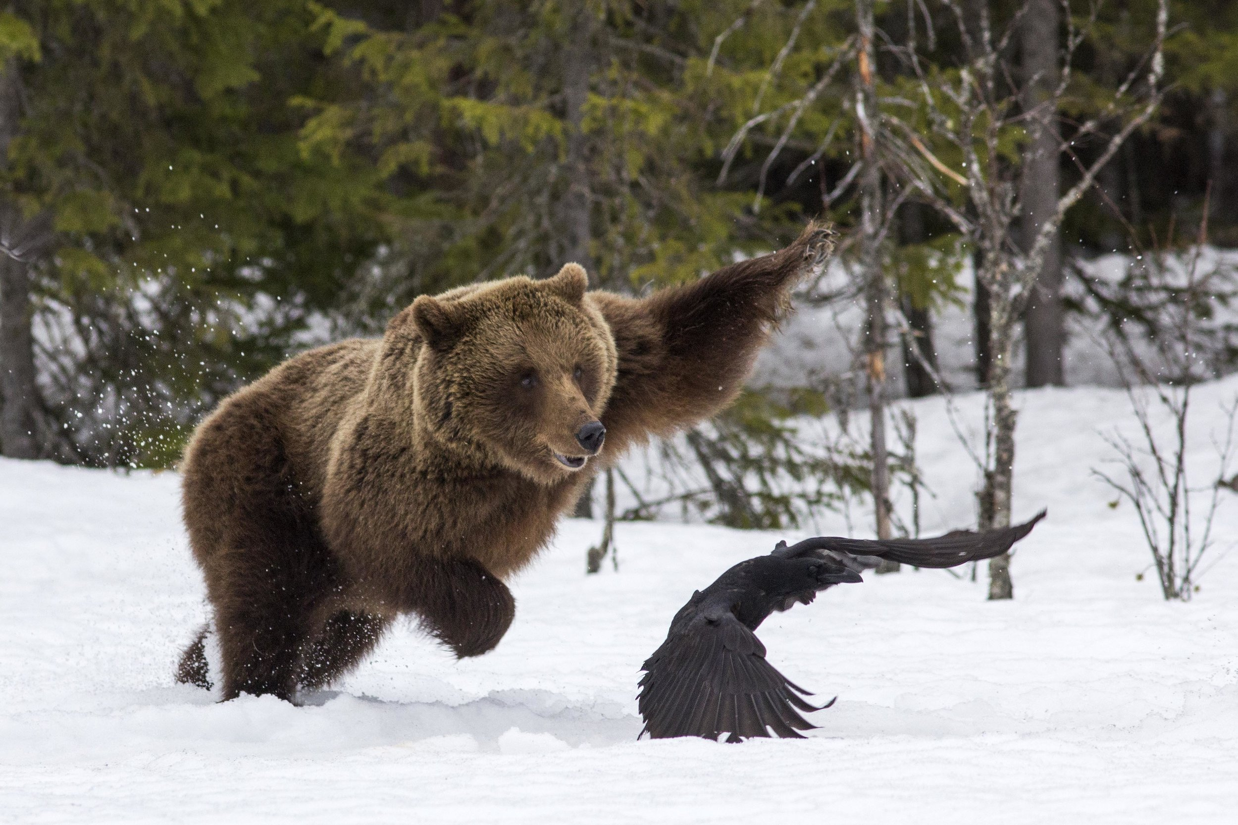 Mikhail Shatenev, Russia,  Wildlife Photographer of the Year