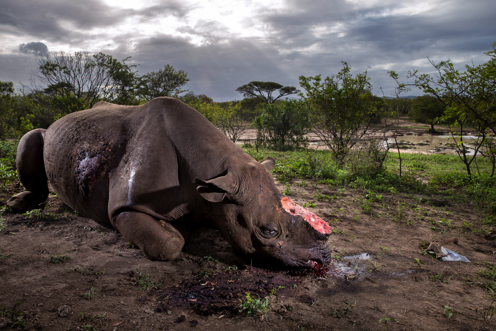 Brent Stirton, Getty Images photographer, The Deadly Rhino Horn Trade, Hluhluwe Umfolozi Game Reserve, Kwazulu Natal, South Africa, May 17, 2016.  A Black Rhino Bull is seen dead, poached for its horns less than 24 hours earlier at Hluhluwe Umfolozi Game Reserve, South Africa. It is suspected that the killers came from a local community approximately 5 kilometers away, entering the park illegally, shooting the rhino at a water hole with a high-powered, silenced hunting rifle. An autopsy and postmortem carried out by members of the KZN Ezemvelo later revealed that the large calibre bullet went straight through this rhino, causing massive tissue damage. It was noted that he did not die immediately but ran a short distance, fell to his knees and a coup de grace shot was administered to the head from close range. Black Rhino are the most endangered rhino, HluHluwe Umfolozi is one of the last repositories for these animals, with less than 3000 left in the wild today. (Photo by Brent Stirton/Getty Images Reportage)
