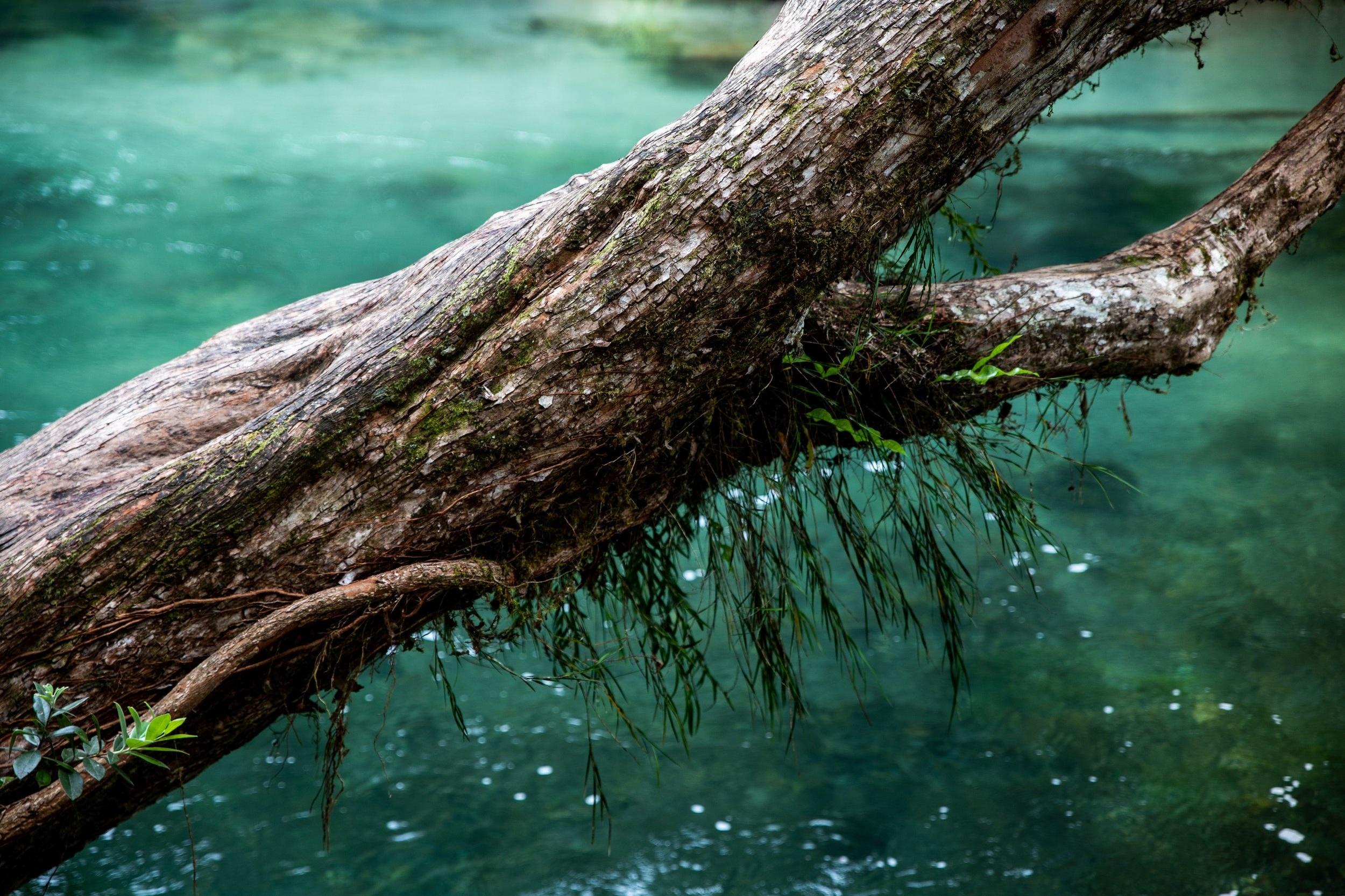 That+Tarawera+Tree+IV+-+7997+-+Large.jpg