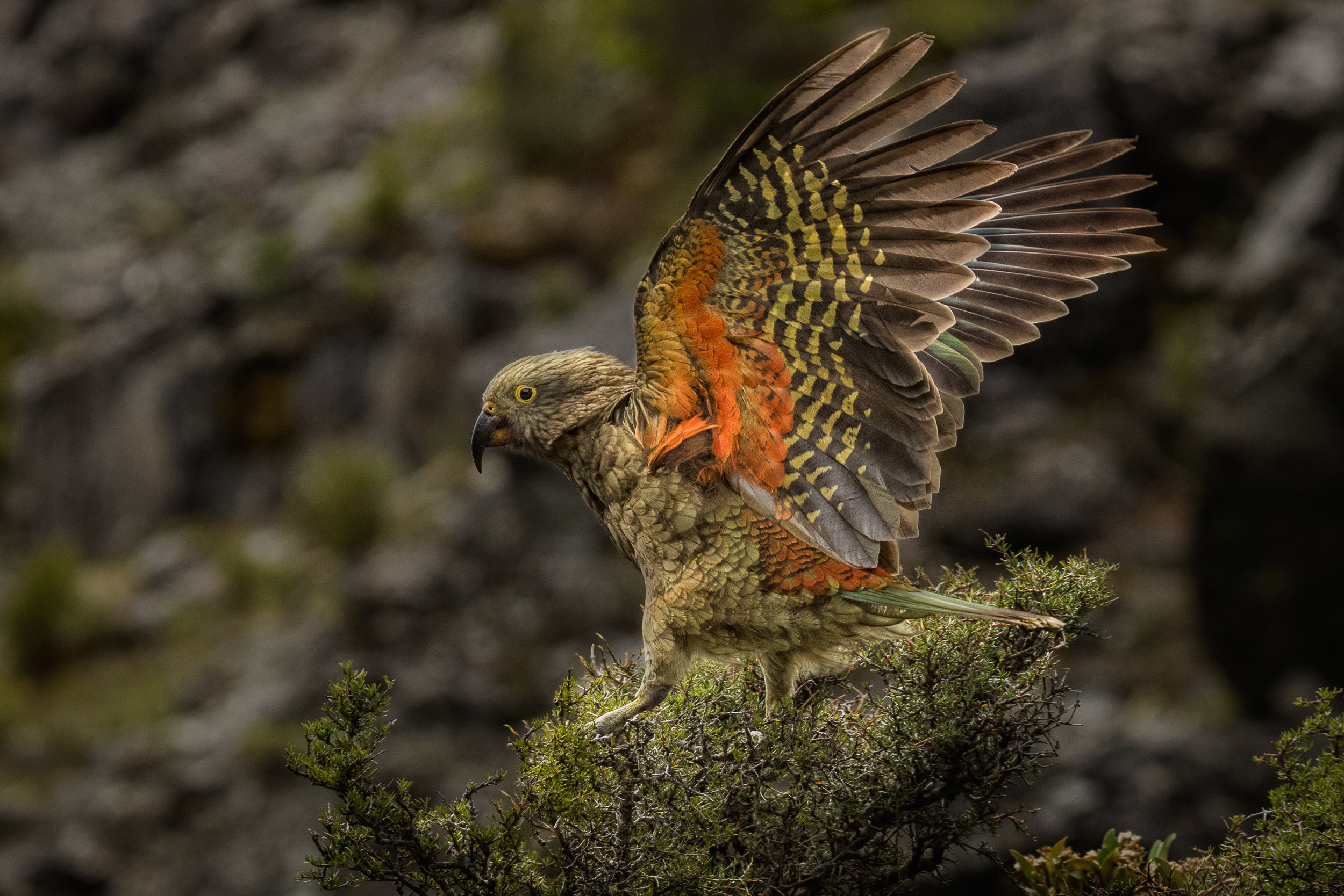 Juvenile Kea, Carolyn Elcock ANPSNZ AFIAP, Geoff Moon Nature Trophy and PSNZ Gold Medal for Best New Zealand Wildlife Projected Image