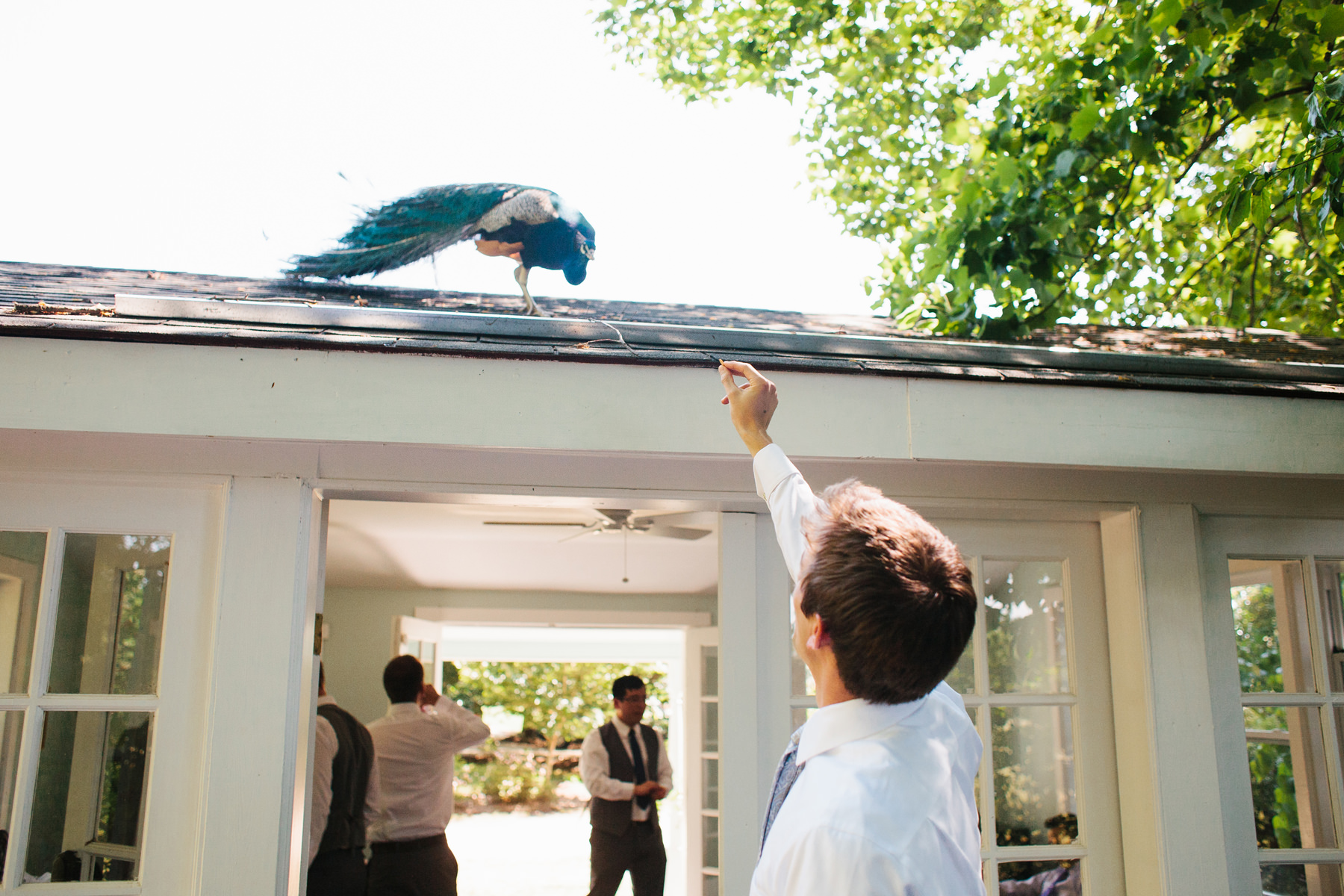 Groom with Peacock