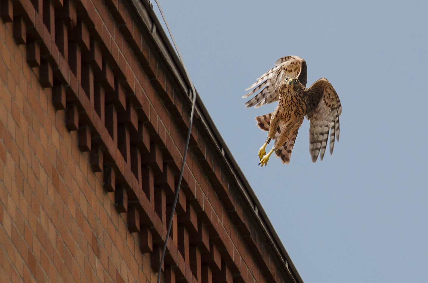 There are over 100 breeding pairs in Berlin, with many more juveniles and unpaired birds making their homes in the city