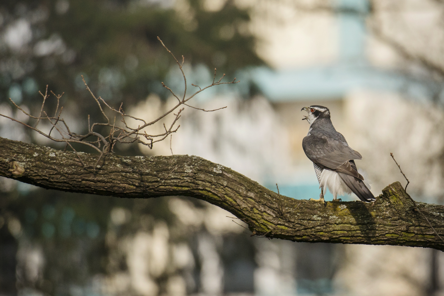 Many goshawks nest in Berlin's suburban forests, but cemeteries, city parks and urban courtyards are increasingly common breeding territories