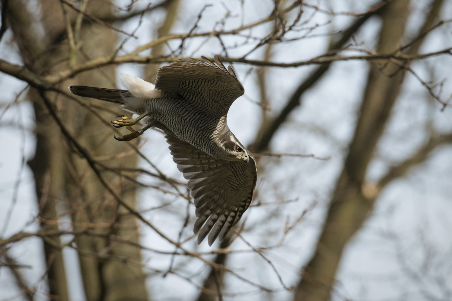 Feral pigeons and city rats are common prey, but kestrels, pet budgies and even long-eared owls are on the menu for this apex aerial predator