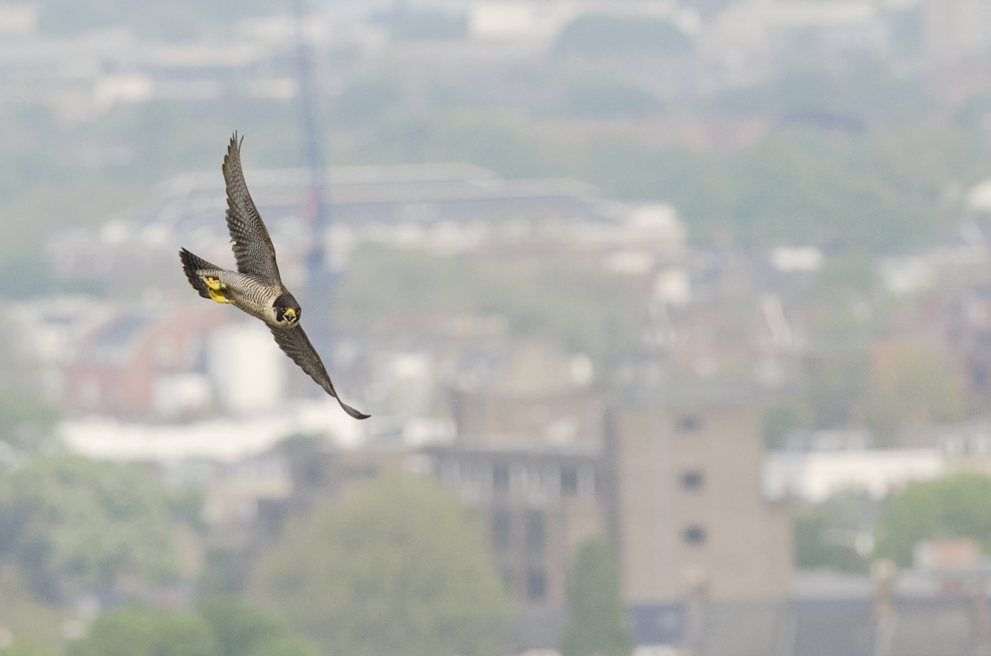 In recent years, these powerful falcons have become one of the UK's greatest urban wildlife success stories