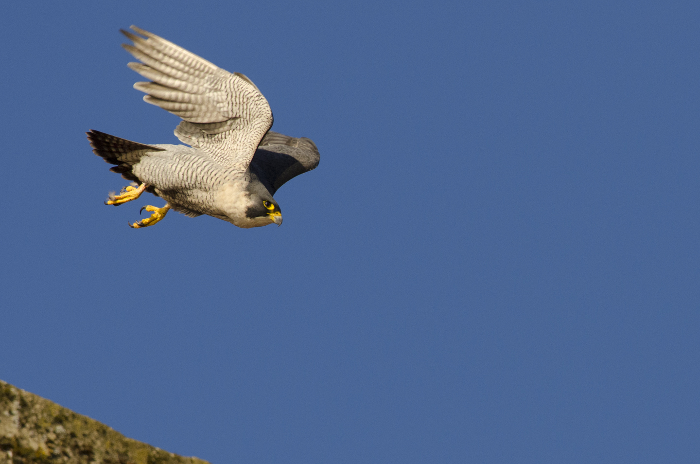 If he spots a potential target, rival, or threat he is ready to take to the air and can quickly reach remarkable speeds