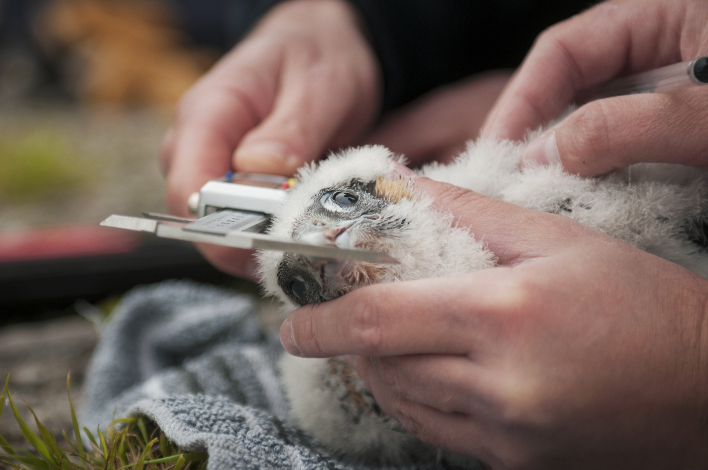 Urban and suburban peregrines can be much more easily monitored than their rural counterparts. The nestlings are ringed at around 3 weeks old
