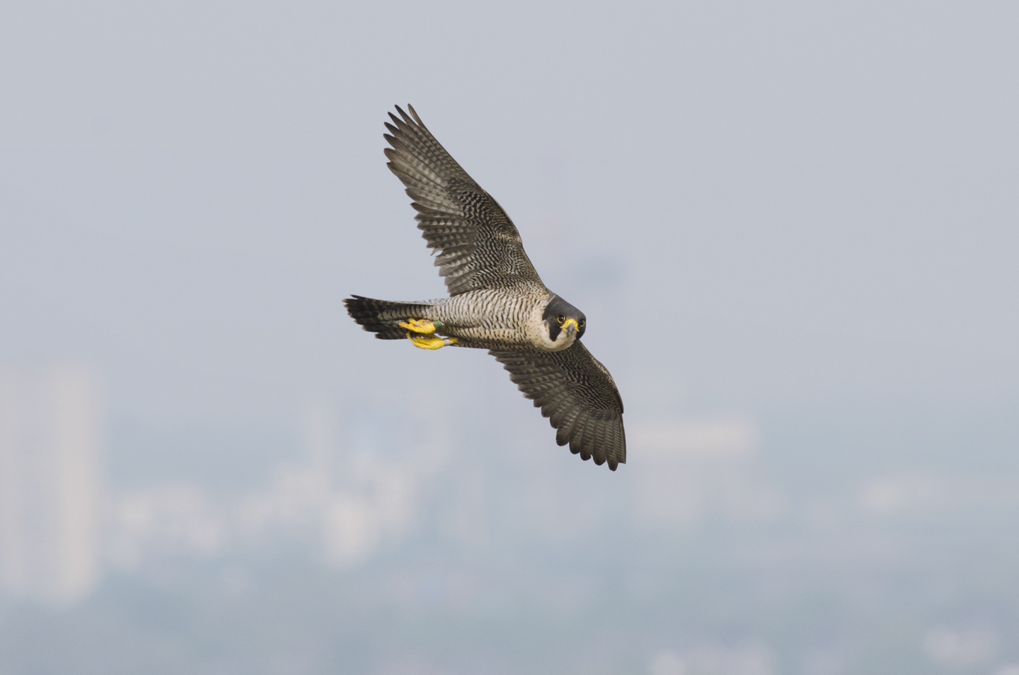 This has started to happen most noticeably in the south of England, where there are now more peregrines than ever before