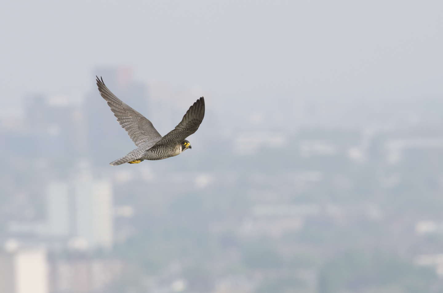 Peregrines are not entirely free from persecution in cities andpigeon fanciers can occasionally be a problem, but they are comparatively safeand anincrease in numbers has meant an increase in understanding
