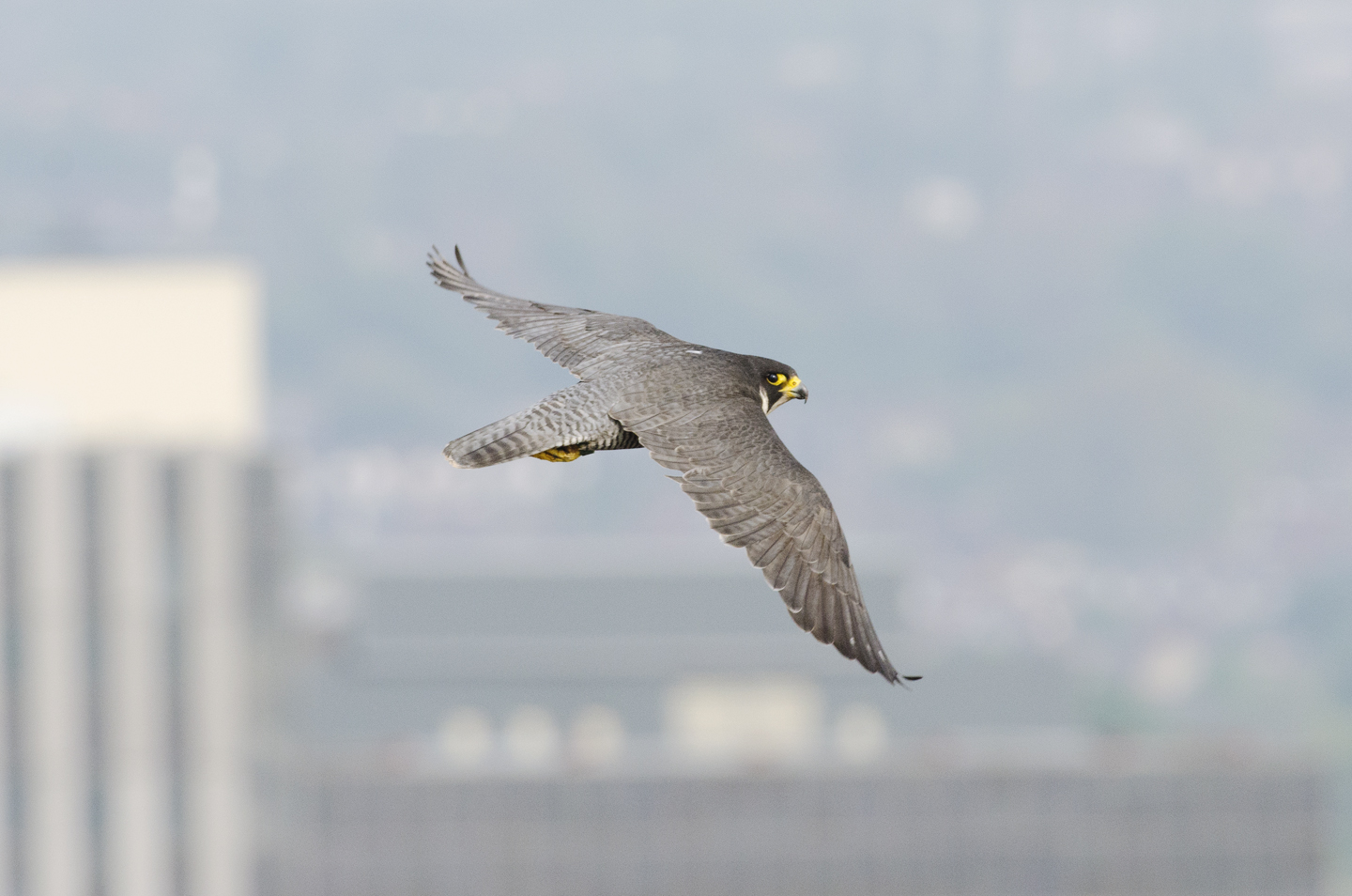 Long pointed wings, powerful shoulders and a hooked bill, they are formidable and ready to find territories of their own