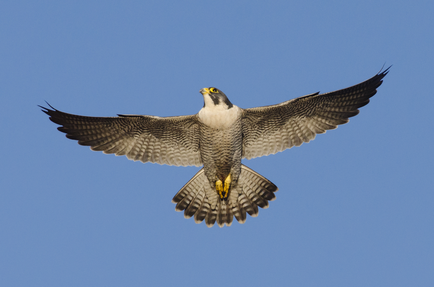 The year starts with flight displays by the tiercel to impress the female. Flight and ledge displays, prey-transfers and other courtship rituals are important in pair bonding