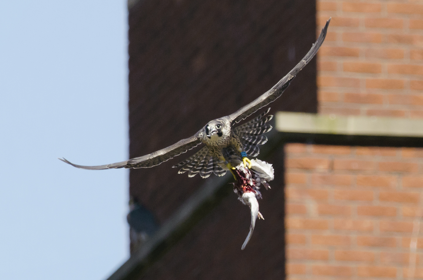 Young falcons make their first flights and catch their first pigeons in the city - to them it's home and they know no different
