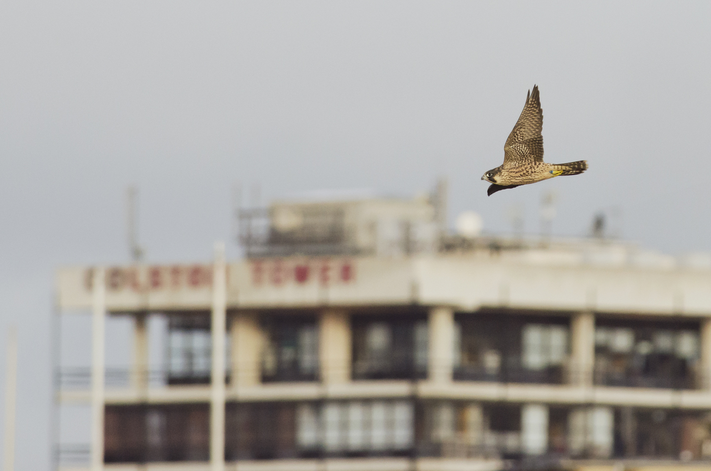 Their first flights are often short and less than graceful, but before long they are soaring above the city skyline