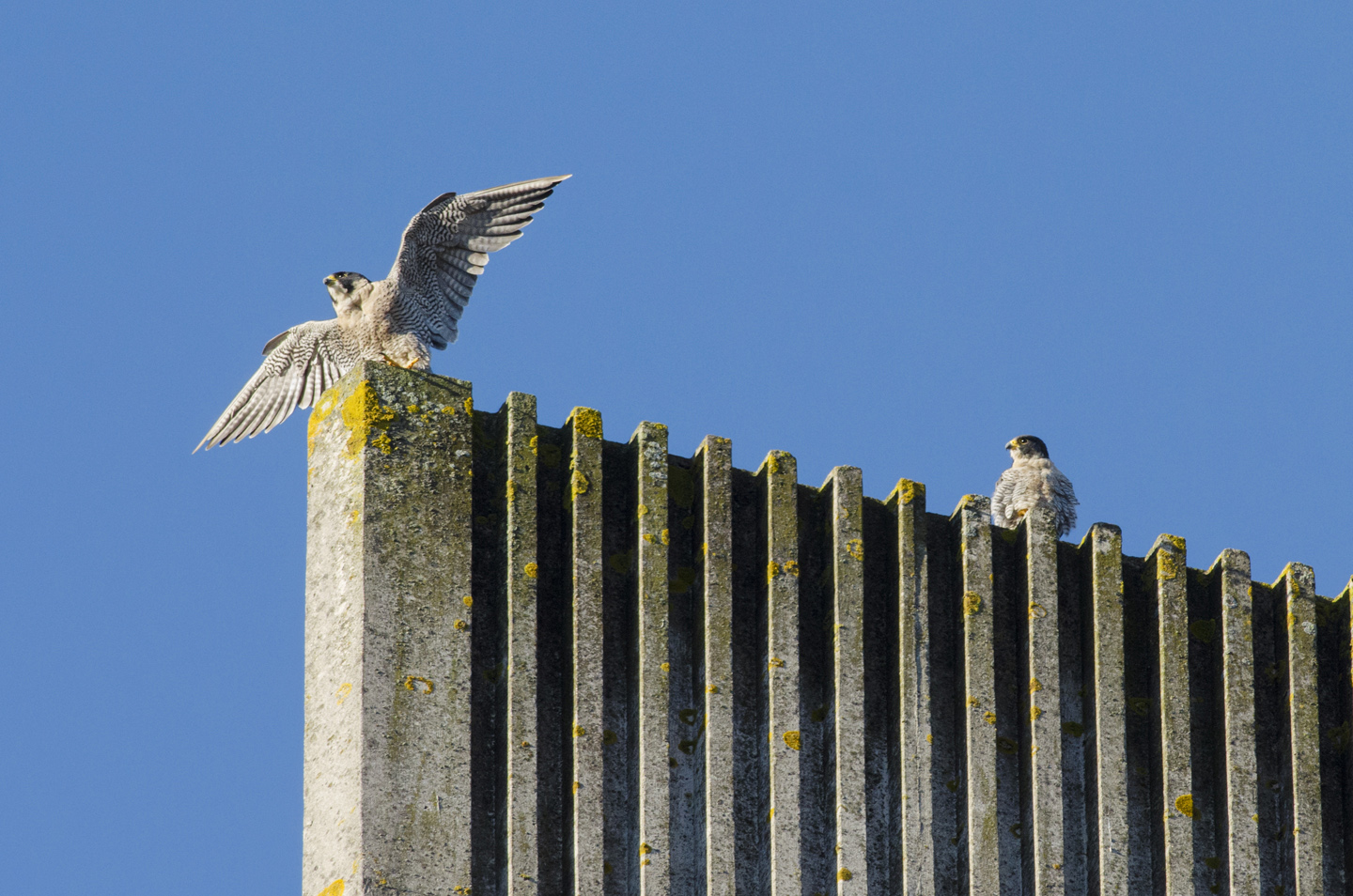 Once the tiercel has proved he is aproficient hunterand can provide for the family, the falcon accepts him and they may stay together for many years