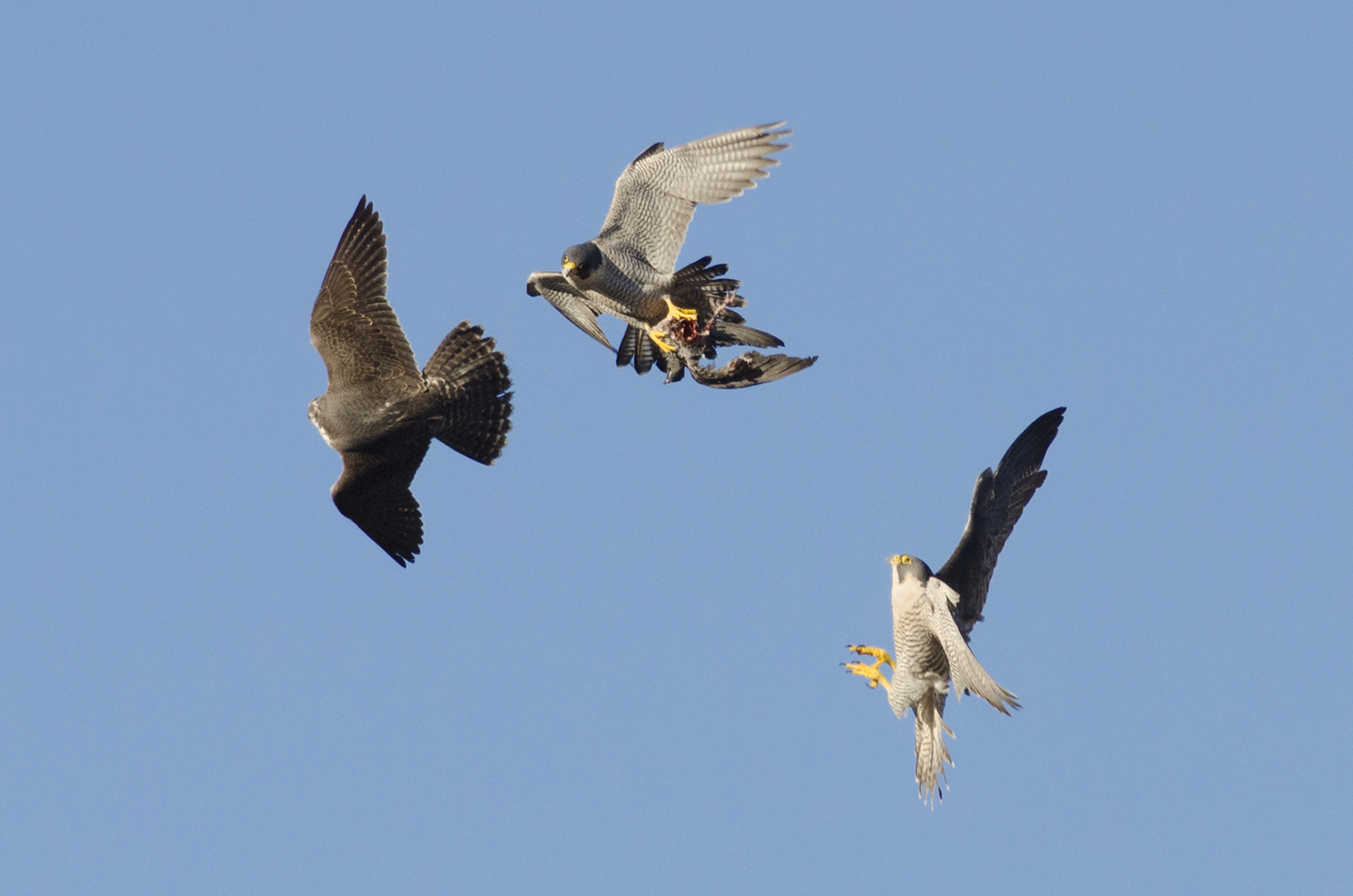 They can develop and learn to hunt in relative safety, where they have a year round supply of feral pigeons to play with