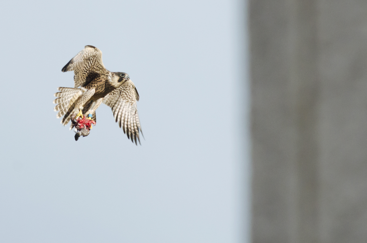 Juveniles can struggle to carry prey, even when butchered into small pieces by their parents, and will often drop it mid-flight