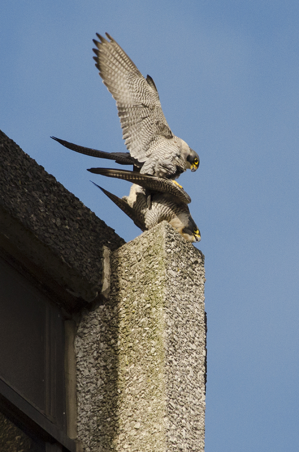 Throughout the Spring they mate many times, partly as pair bonding and usually around their chosen nesting ledge