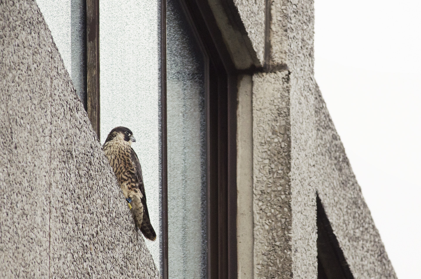 Juvenile peregrines blend in to the urban environment as well as they do a coastal cliff - the habitat is surprisingly similar, with its tall rocky outcrops inhabited by gulls and pigeons