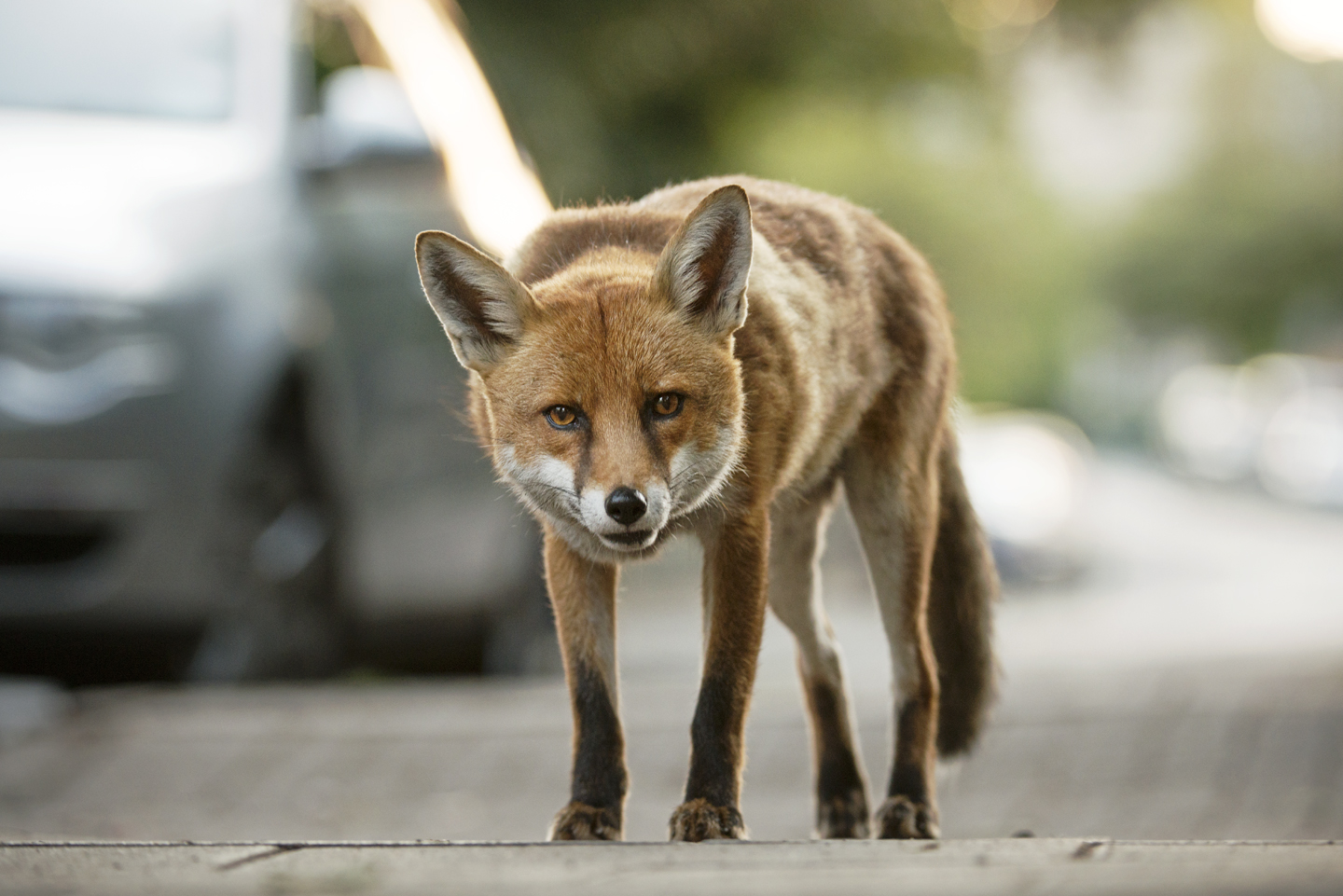 They divide our neighbourhoods into their own territories. We are lucky to own a house, but a fox owns the whole street