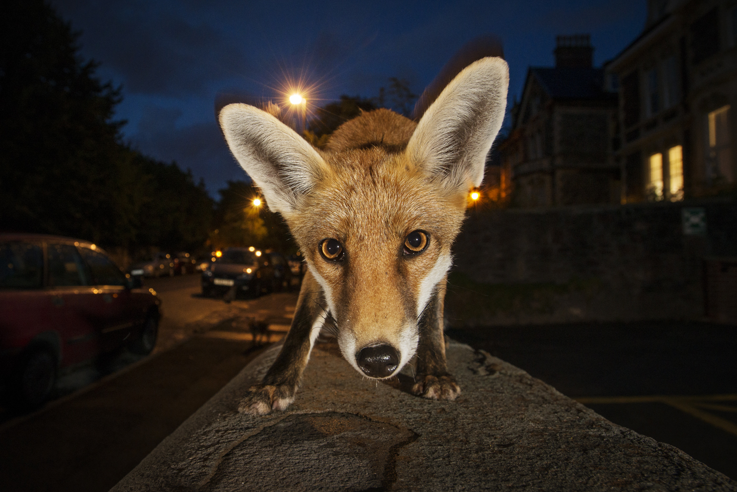 But even though we share our surroundings, after midnight the streets belong to the foxes