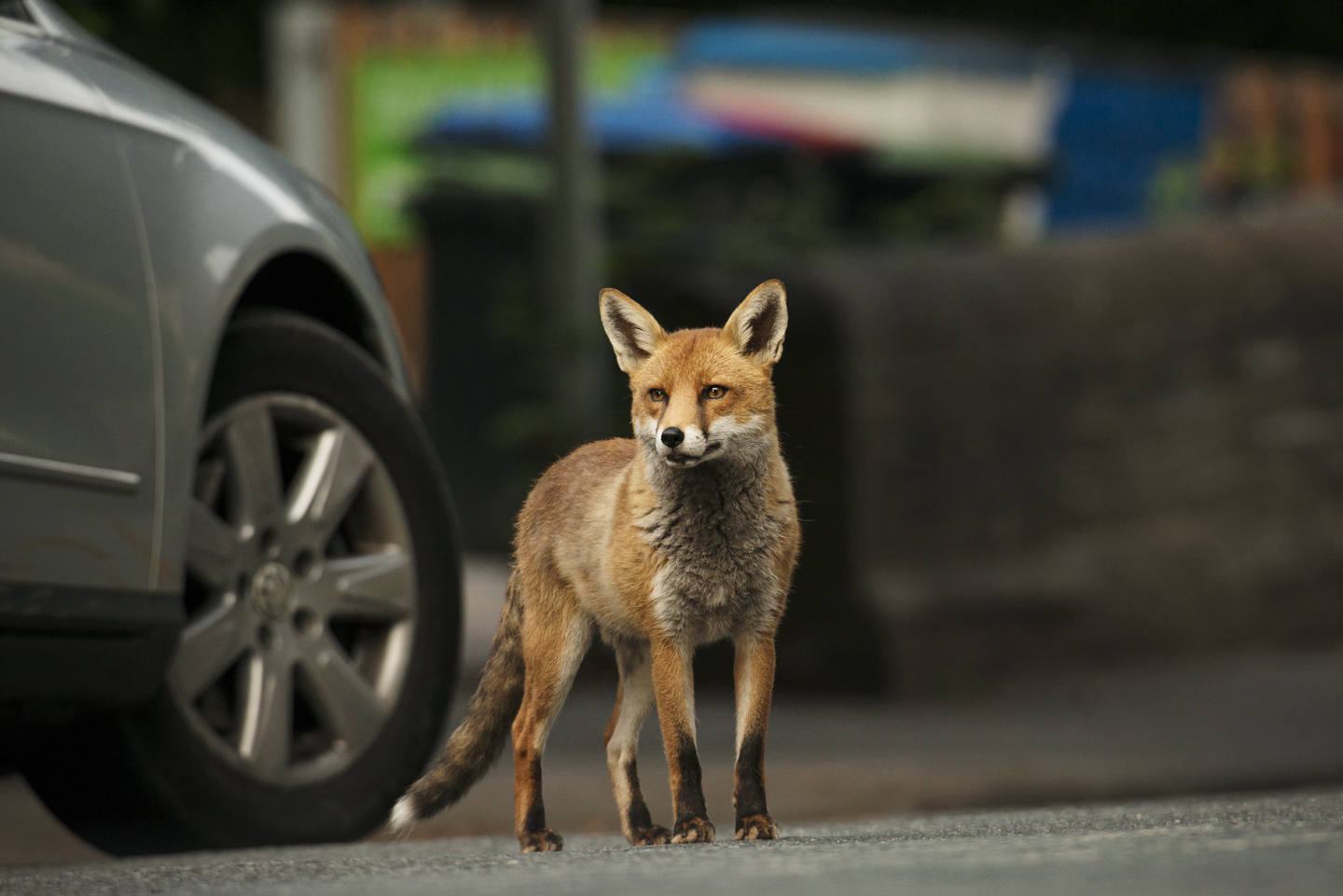Cars can also be a big killer. Around 50% of urban foxes die on our roads, with young foxes in most danger. Adults are much more streetwise and know their green cross code