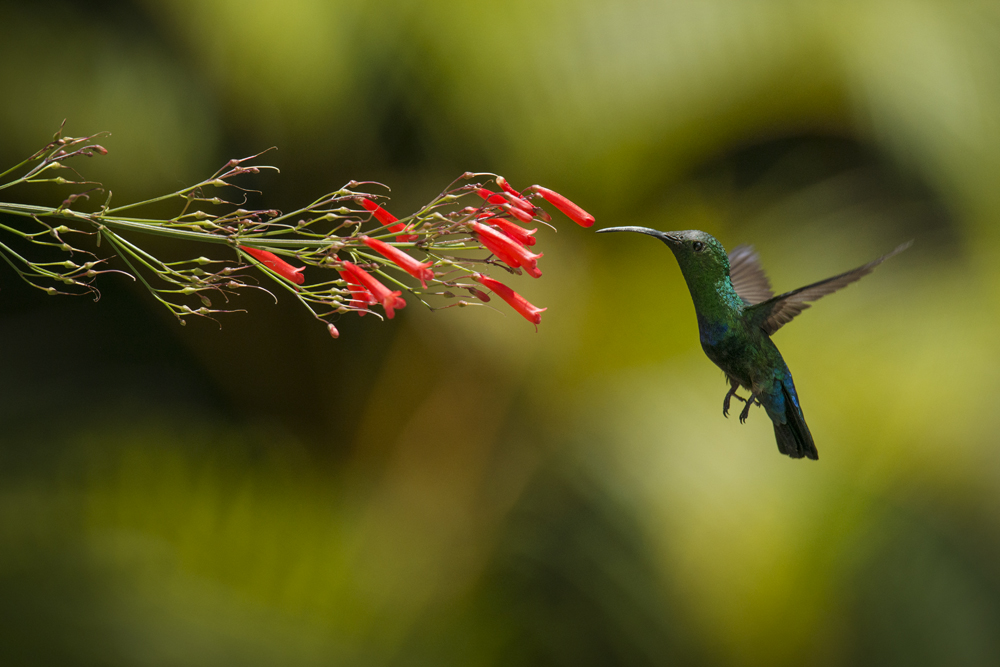 Green-throated carib in flight, feeding on nectar.