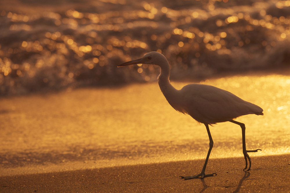 Juvenile little blue heron walking at the surf's edge at sunset, looking for pickings.