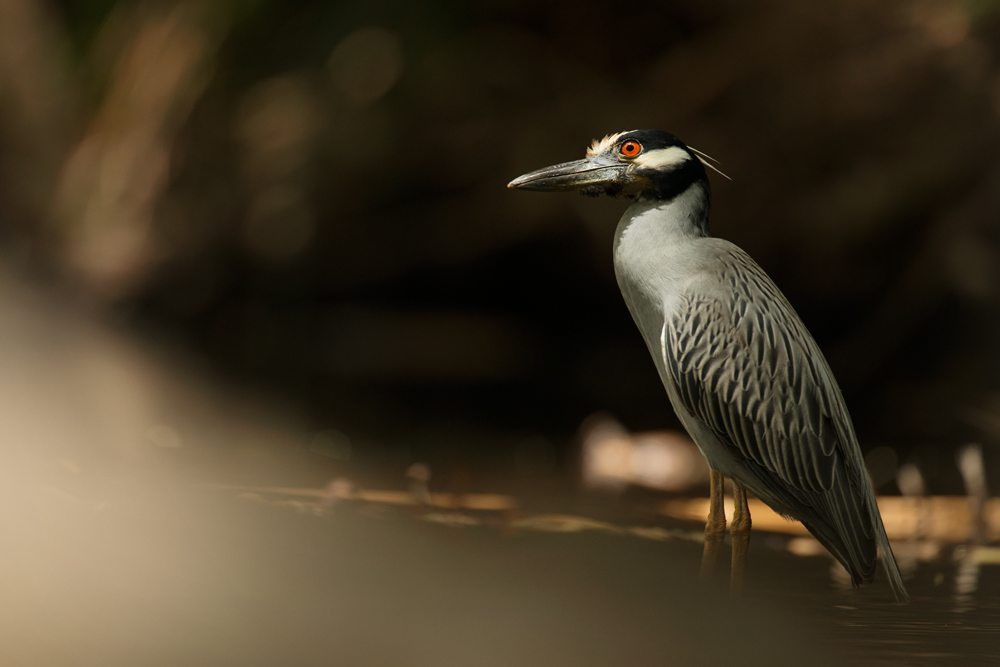 Yellow-crowned night heron hunting for fish in a small stream.