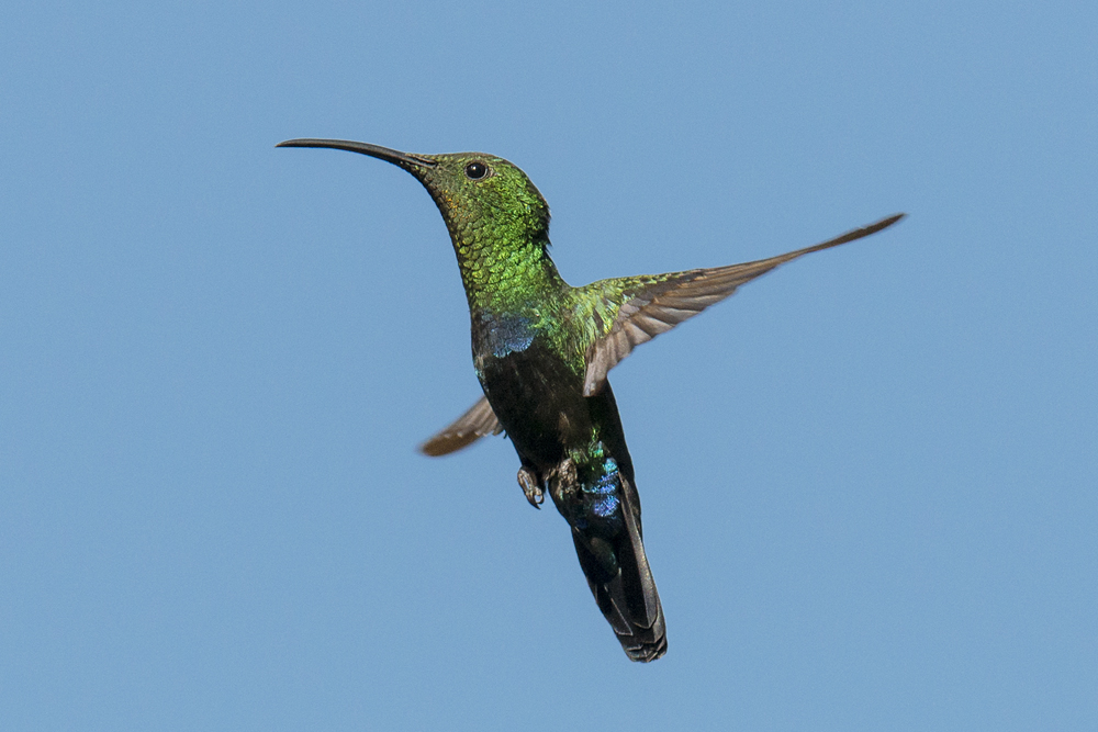 Green-throated carib hovering in wait for insects.