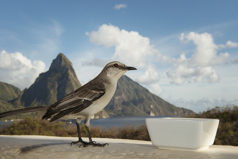 Tropical mockingbird in front of the Piton mountains.