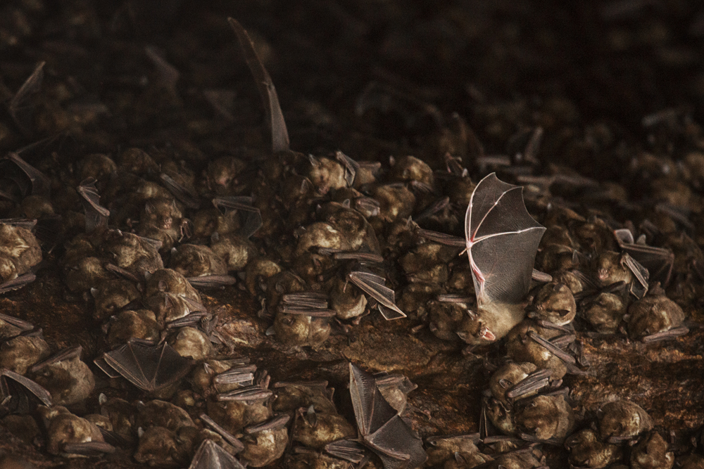 Antillean fruit-eating bats at their cave roost inSoufrière Bay.