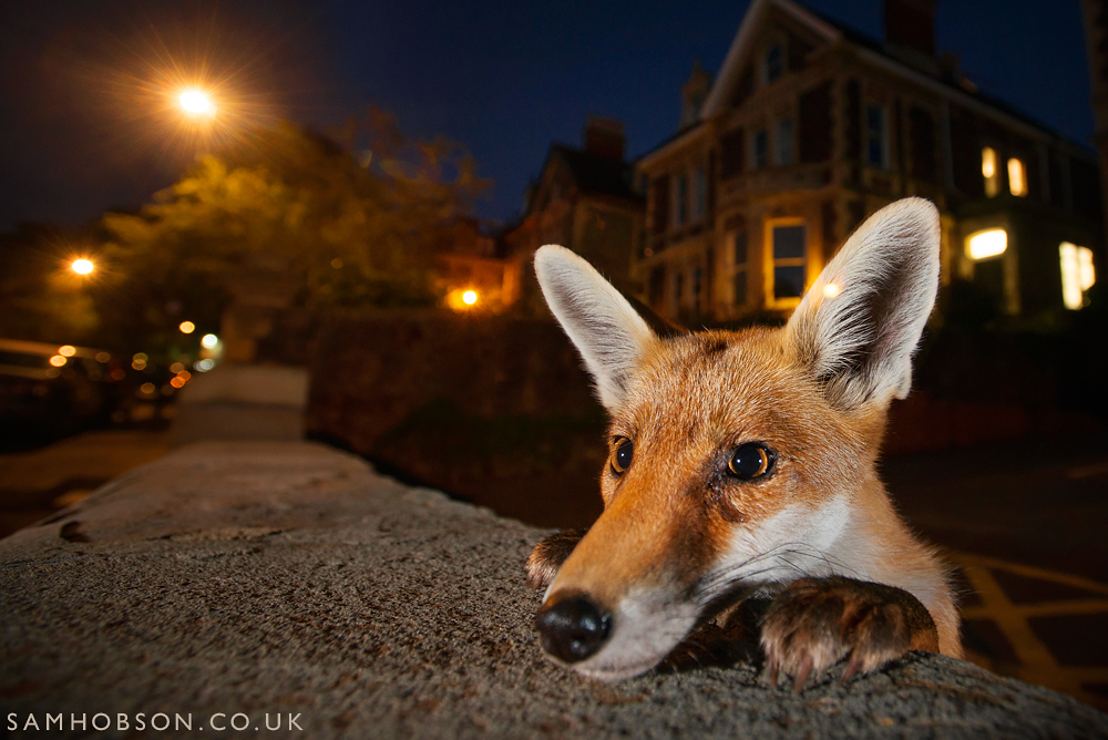 SAM_HOBSON_URBAN_FOX_1.jpg