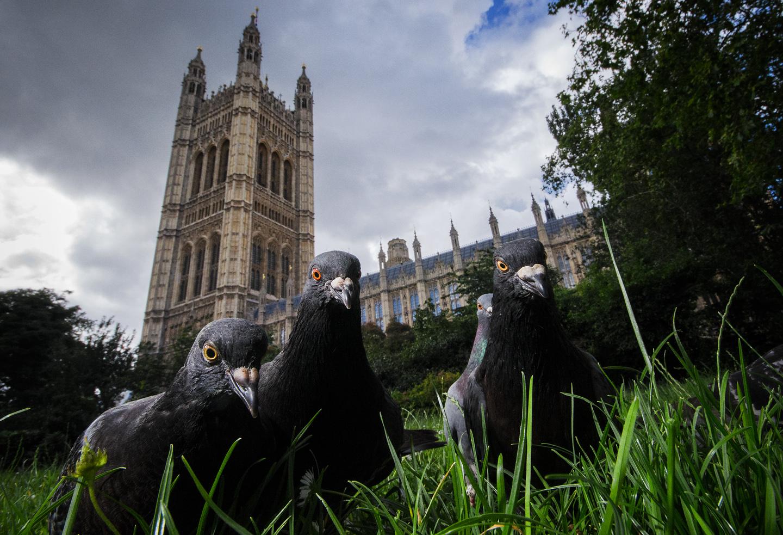 Parliament Pigeons