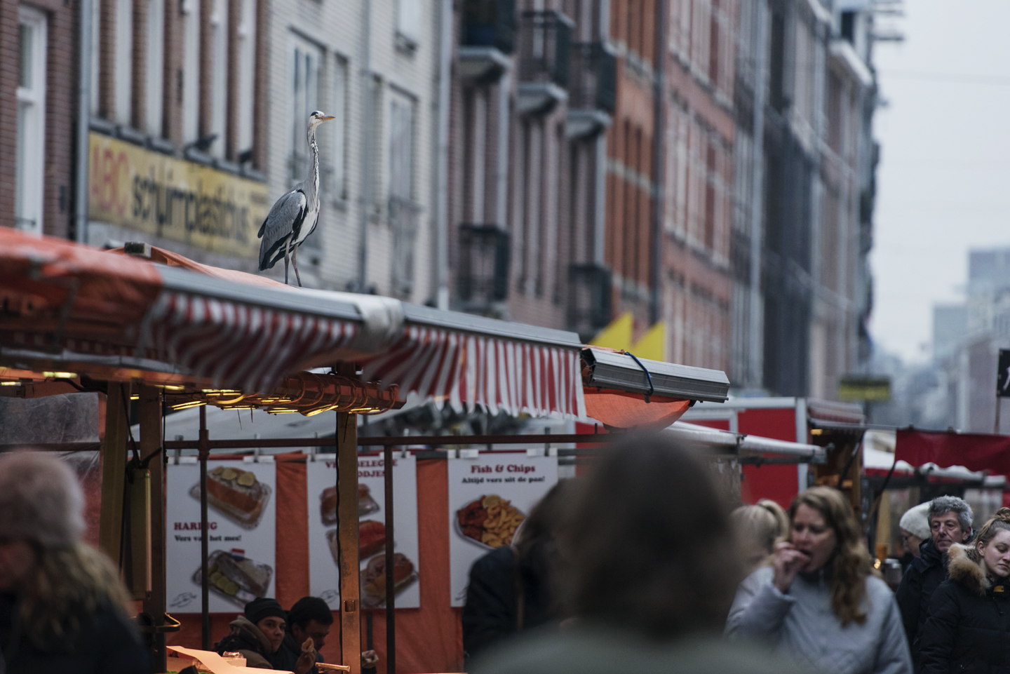 With many canals and rivers, Amsterdam is the perfect city for grey herons
