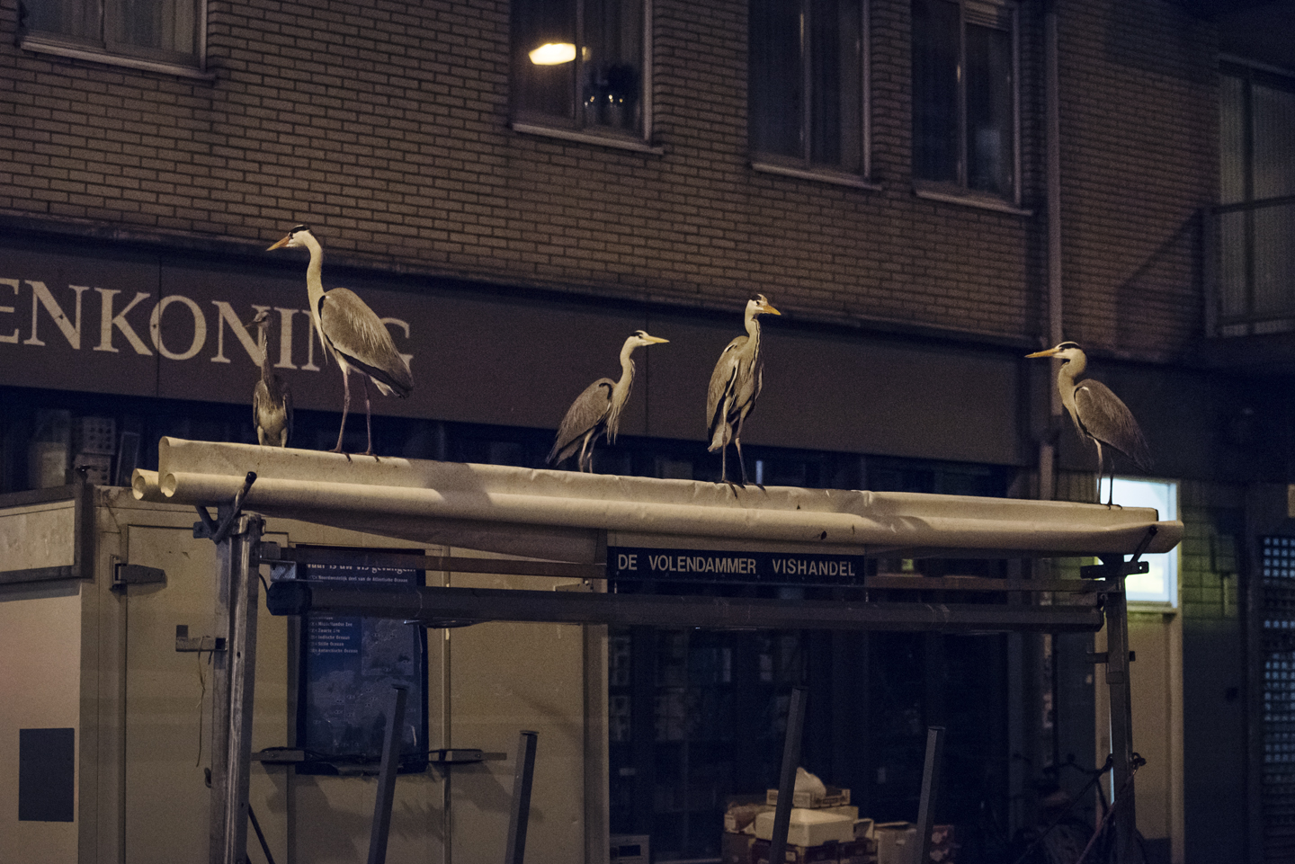 Sometimes fifteen to twenty herons can be seen at one time gathered on the stalls and surrounding rooftops