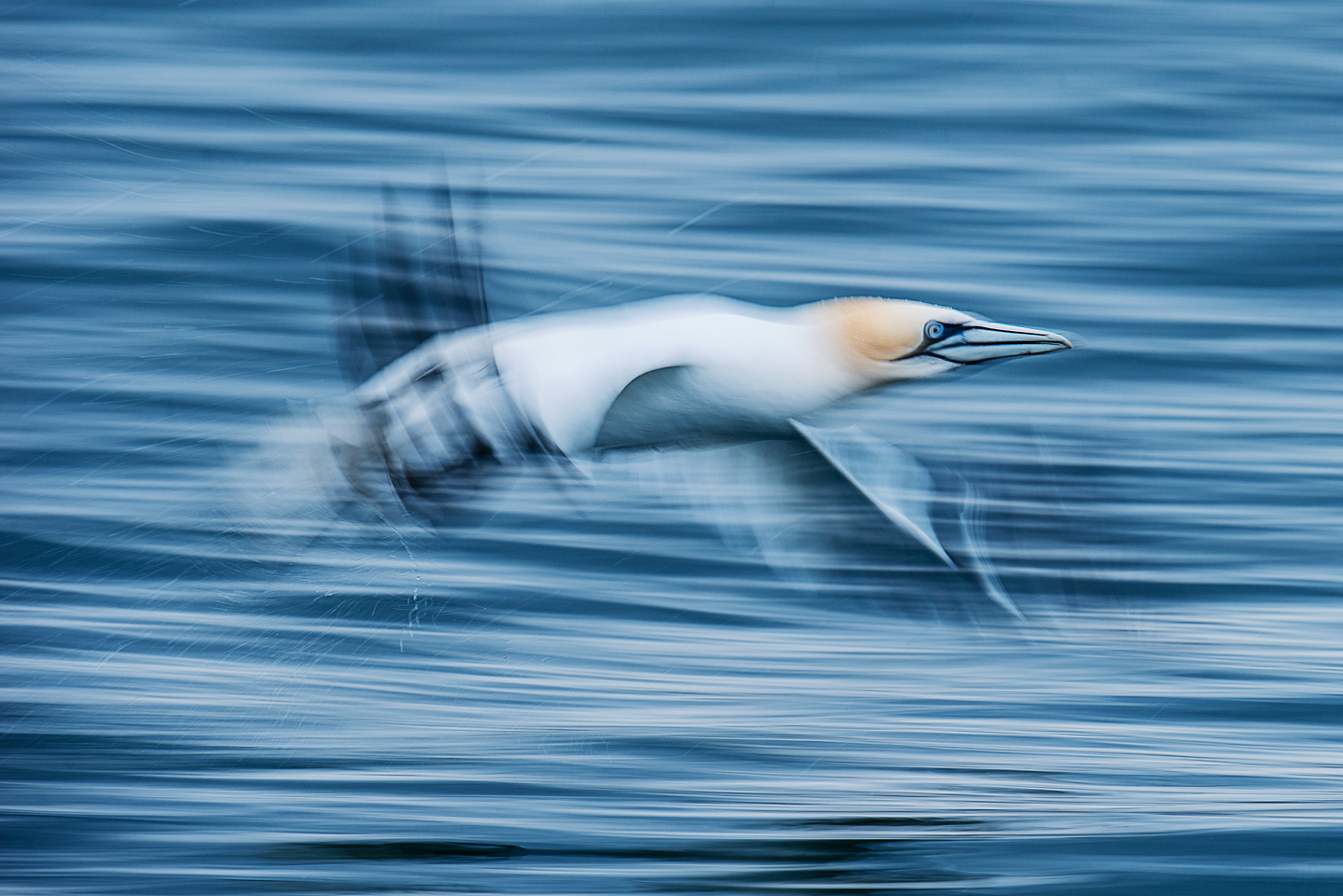Offshore development is unfortunately not the only human activity affecting the UK's gannet population. Waste from Atlantic fisheries is causing devastation on an island just 8 miles off the Welsh coast