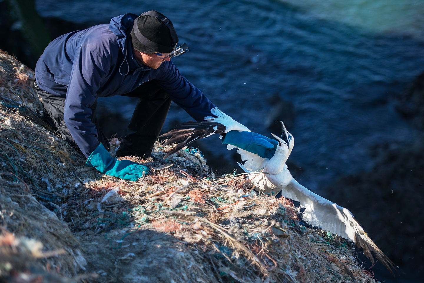 A team of volunteers led by RSPB Ramsey Island warden Greg Morgan visit Grassholm each year at the end of the breeding season. They are on a rescue mission to save as many gannets as possible from this death sentence