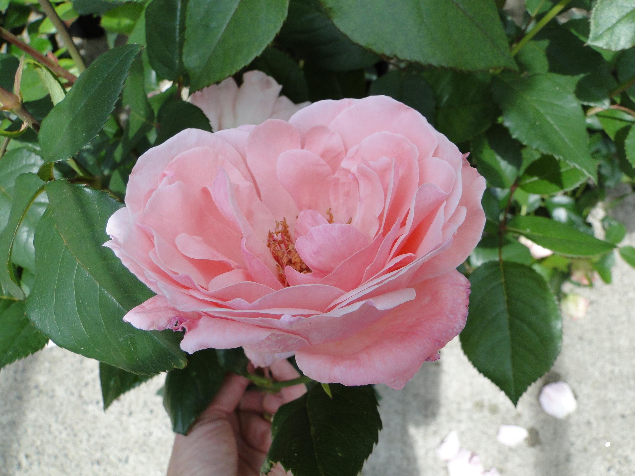 Queen Elizabeth Grandiflora