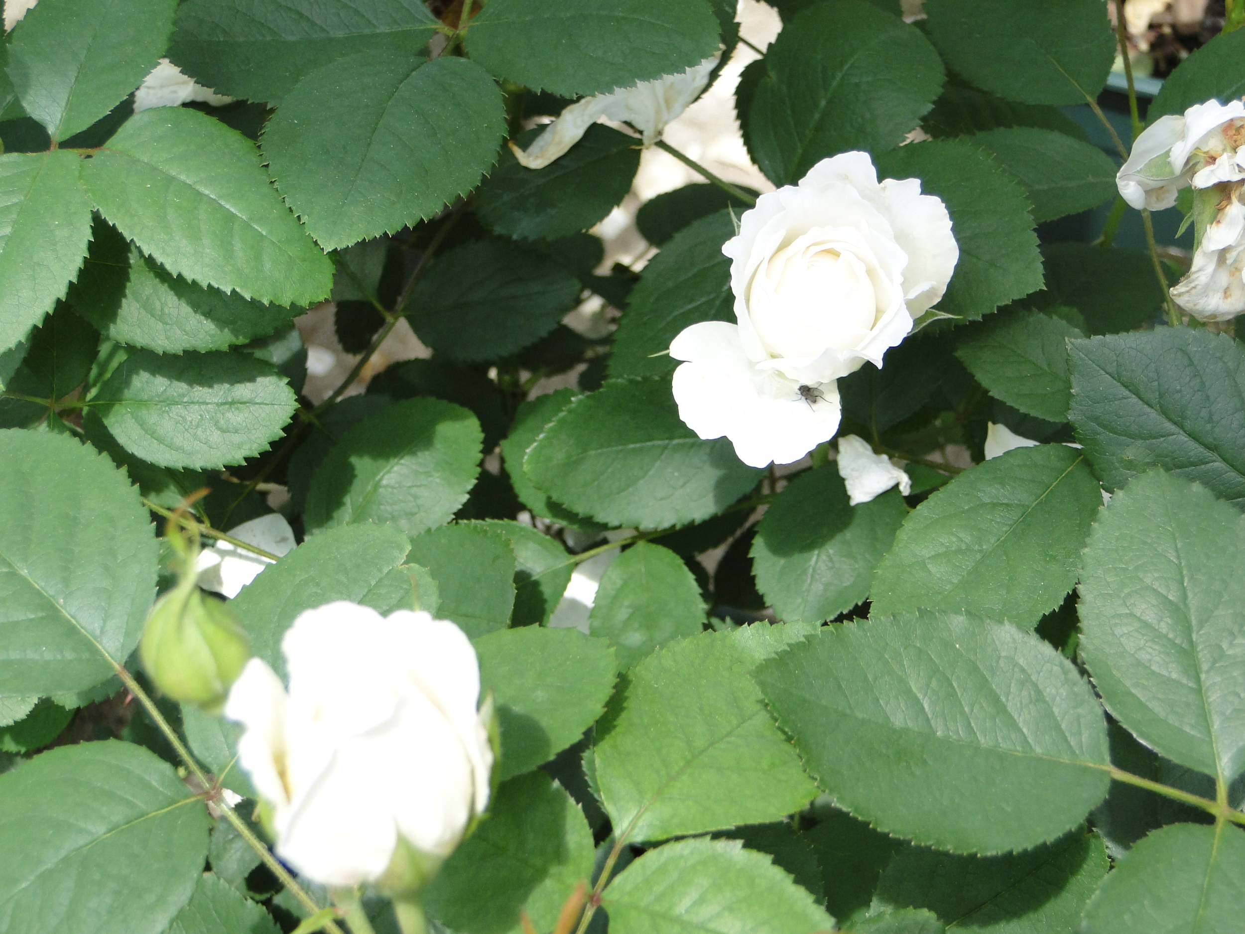 Winchester_Cathedral_Shrub_Rose.JPG