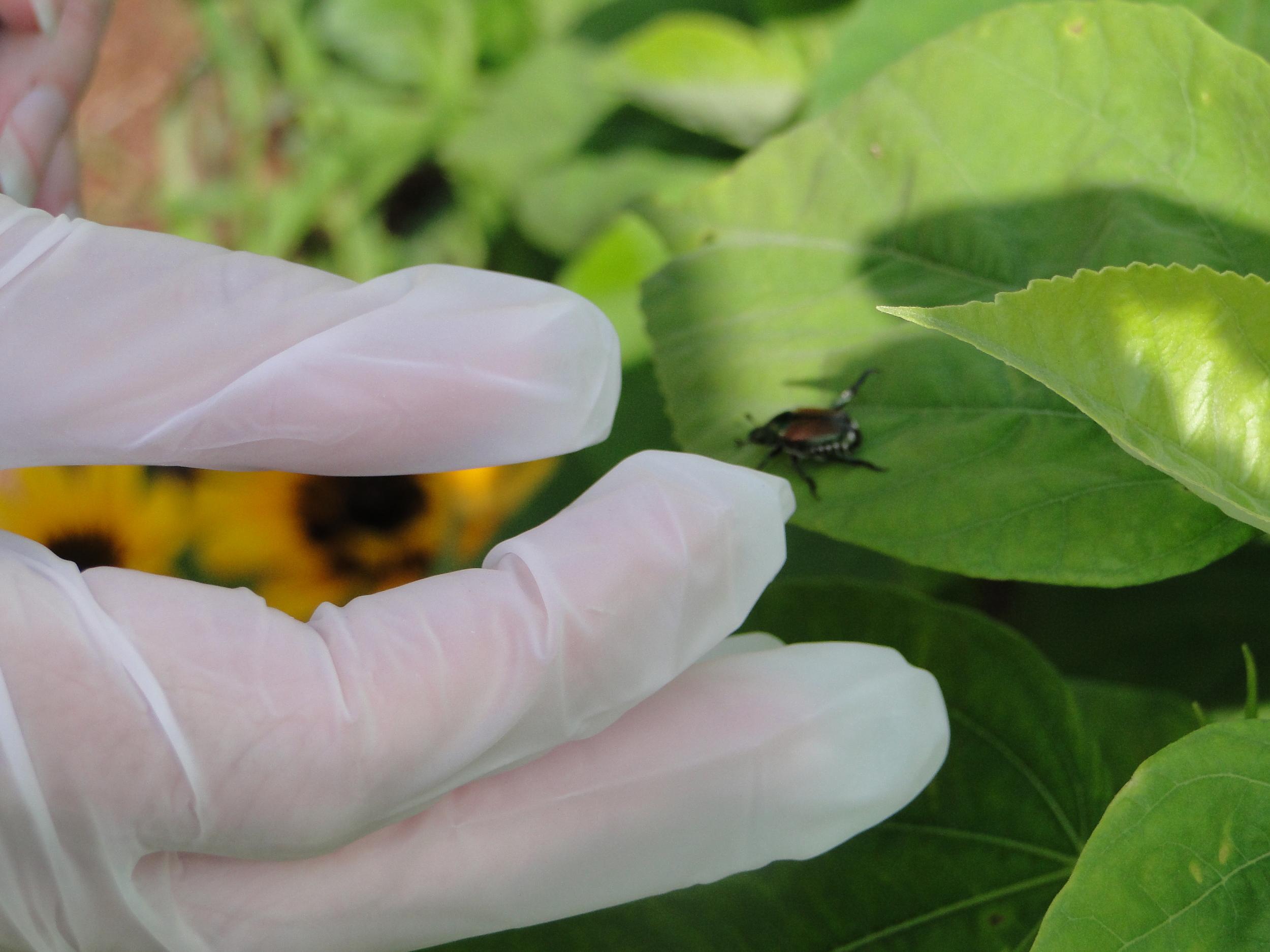 Step 4: Pick beetles off plants