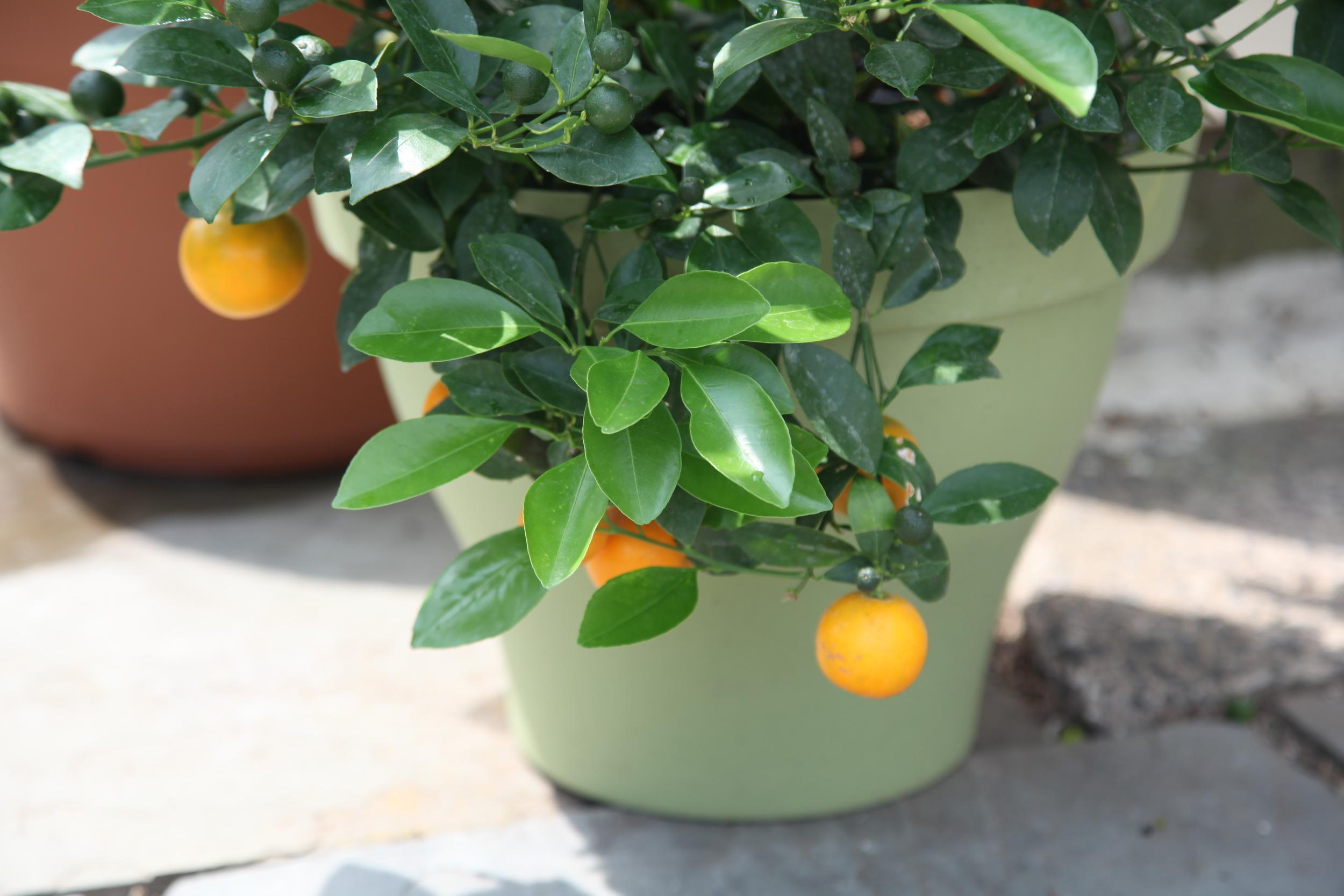 Orange Chionitto