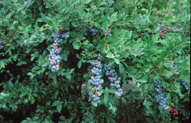 blueberry-highbush.jpg