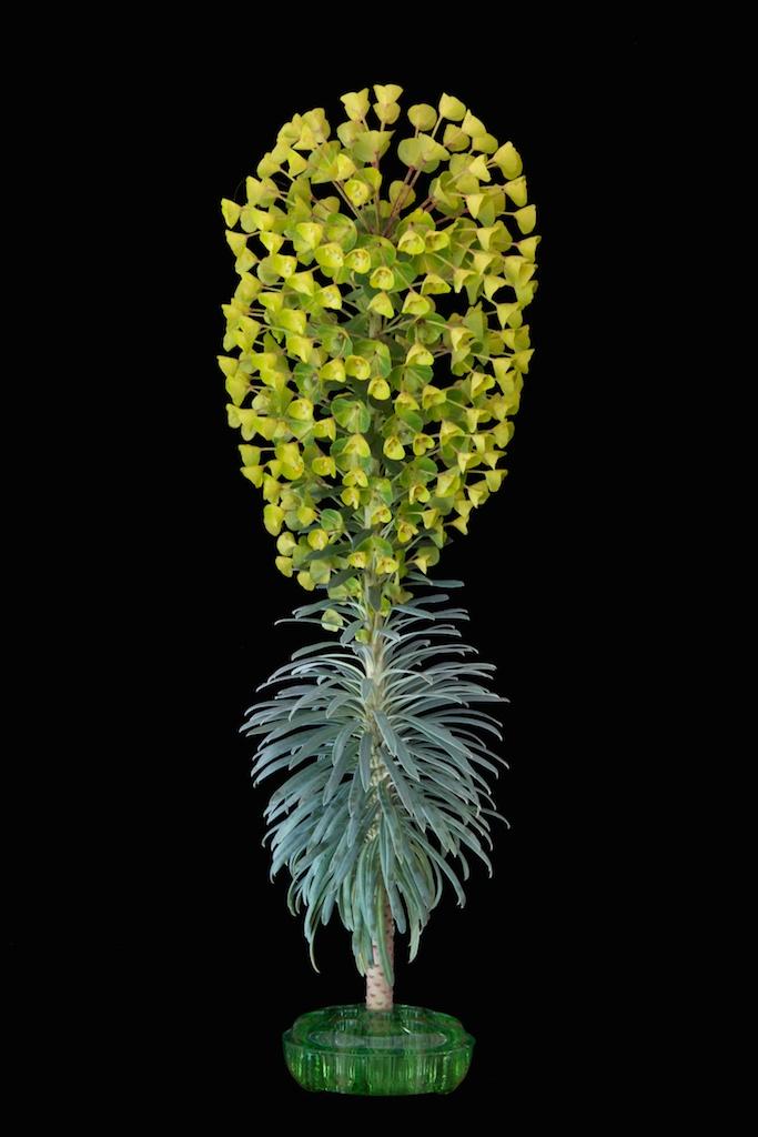 © Liz Kahlenberg Bordow  Euphorbia