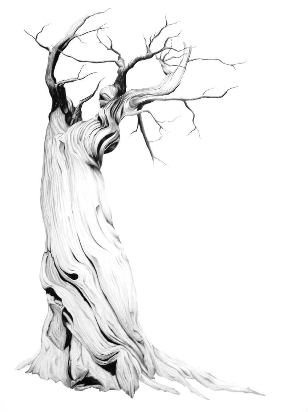 "Bristlecone, Graphite on Claybord, 18"" x 24"", 2009"