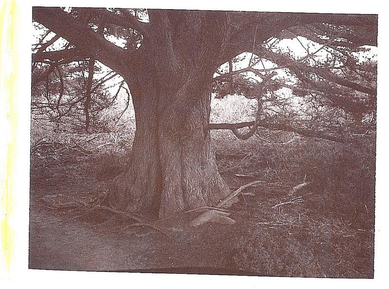 Cypress (Sepia).jpg
