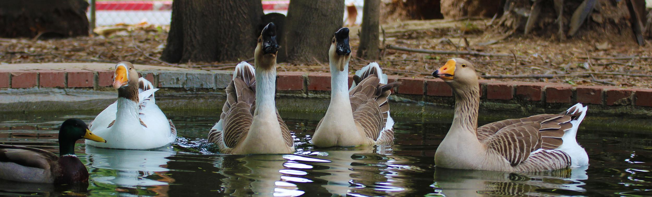 Geese banner.jpg