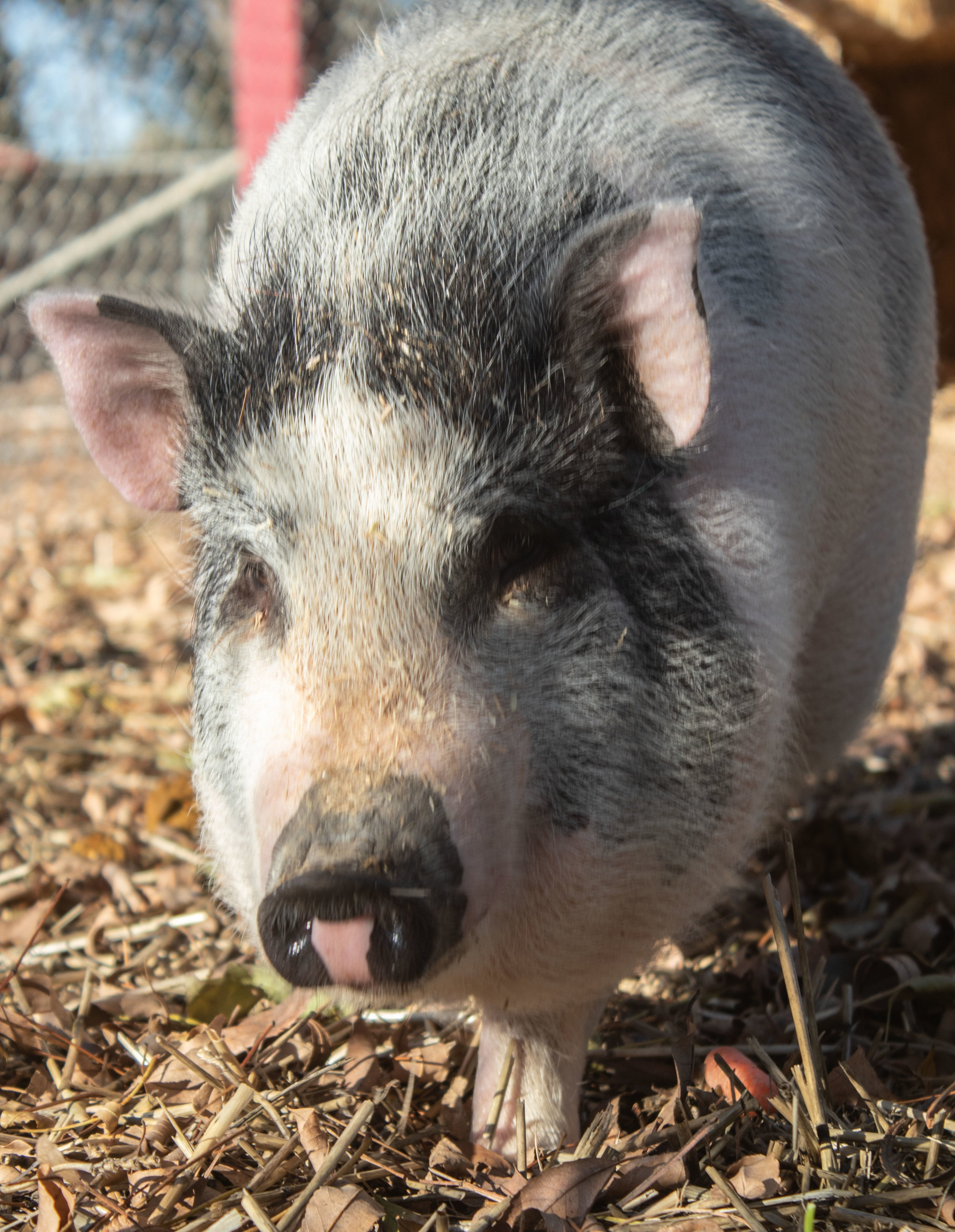 New+Pig+1.jpg