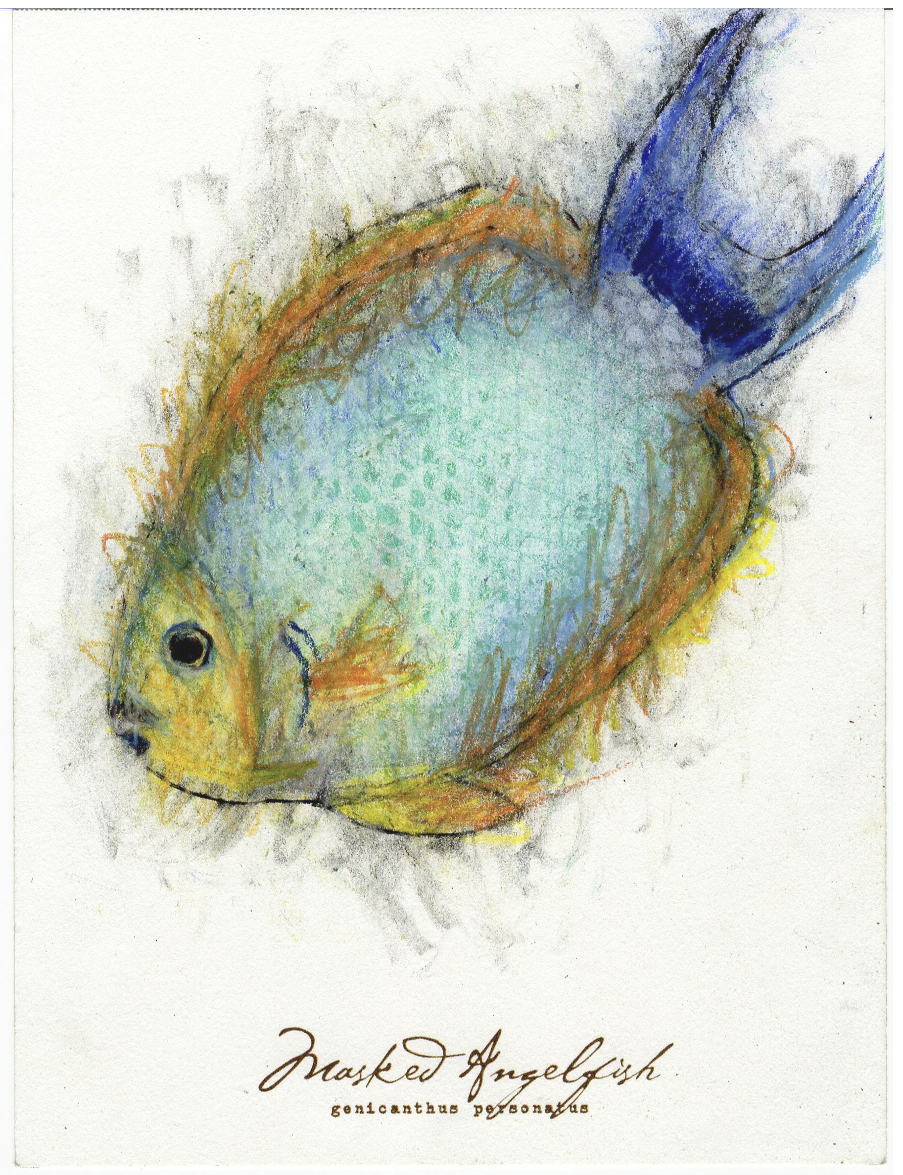 """Masked Angelfish, 2017 6"""" x 8"""" charcoal & prismacolor on paper"""