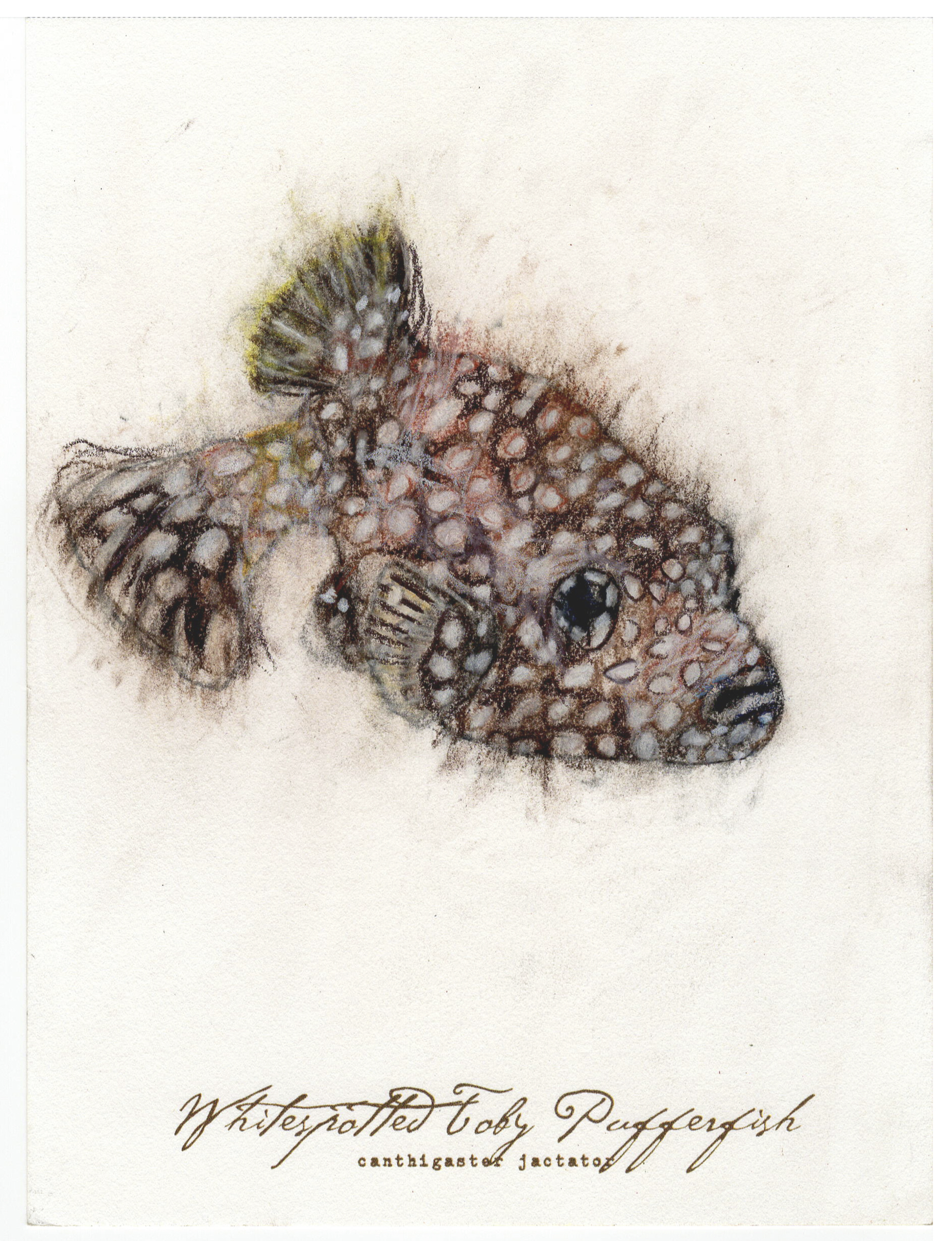"""Whitespotted Pufferfish, 2017 6"""" x 8"""" charcoal &prismacolor on paper"""